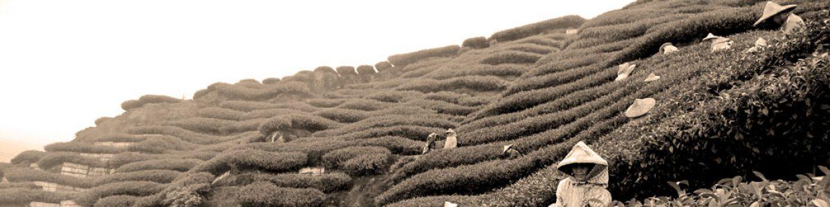 История чая дарджилинг
