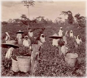 свежий чай из Индии