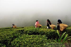 Сбор урожая чая в Дарджилинге