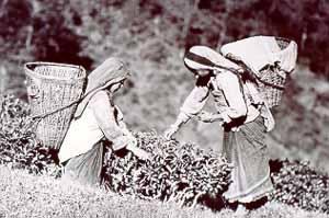 Так собирали чай в Дарджилинге в начале XX века