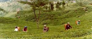 Cбор чая в Дарджилинге